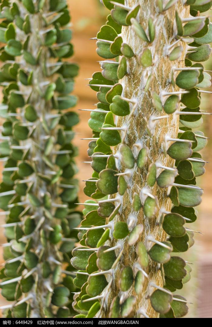 带刺的沙漠植物图片,高清大图