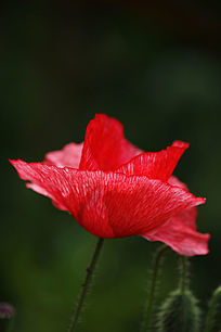 红色的罂粟花