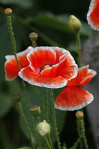 桔红色罂粟花