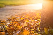 金黄的树叶