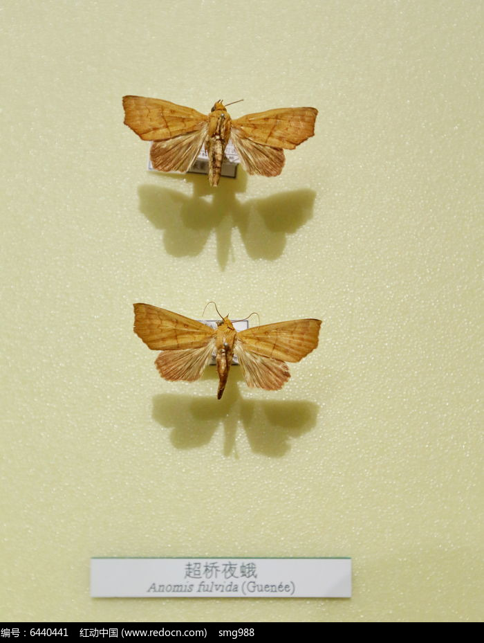 原创摄影图 动物植物 昆虫世界 昆虫蛾类超桥夜蛾标本  请您分享: 红