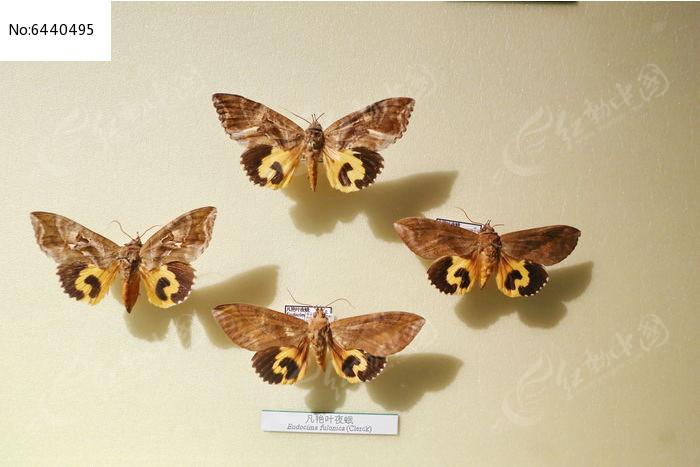 原创摄影图 动物植物 昆虫世界 昆虫蛾类凡艳叶夜蛾标本  请您分享
