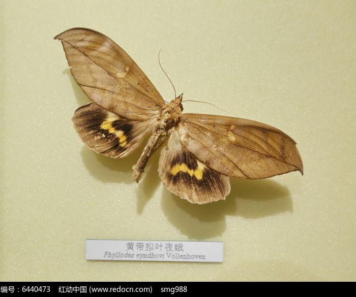 原创摄影图 动物植物 昆虫世界 昆虫蛾类黄带拟叶夜蛾标本