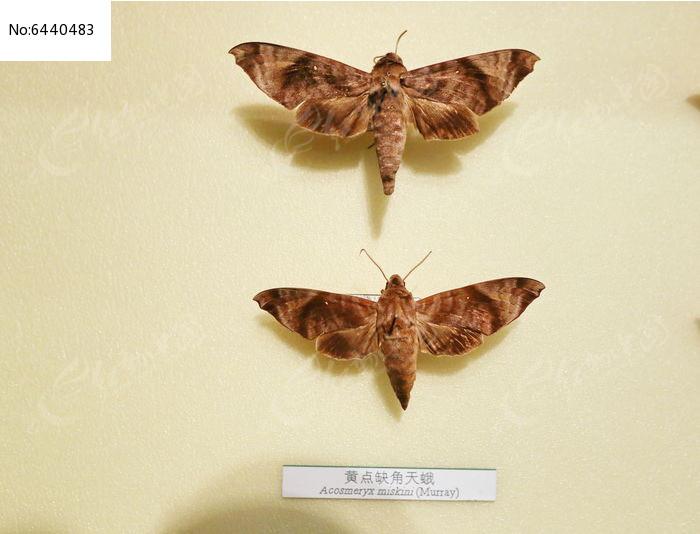原创摄影图 动物植物 昆虫世界 昆虫蛾类黄点缺角天蛾标本  请您分享