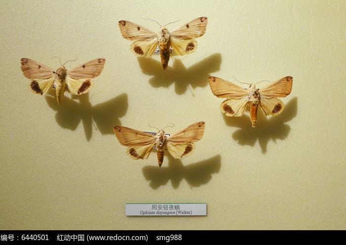 原创摄影图 动物植物 昆虫世界 昆虫蛾类同安钮夜蛾标本  请您分享