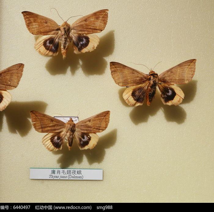 原创摄影图 动物植物 昆虫世界 昆虫蛾类庸肖毛翅夜蛾标本  请您分享