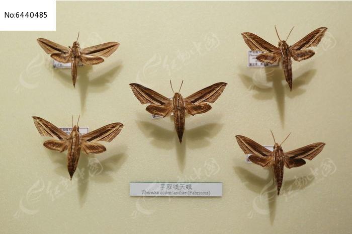 原创摄影图 动物植物 昆虫世界 昆虫蛾类芋双线天蛾标本  请您分享