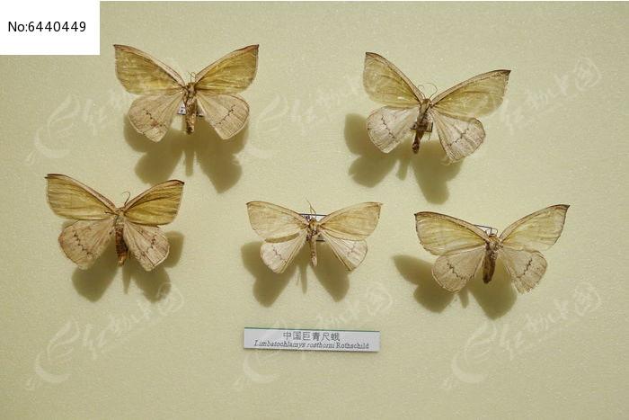 原创摄影图 动物植物 昆虫世界 昆虫蛾类中国巨青尺蛾标本  请您分享