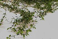 绿叶墙面繁茂