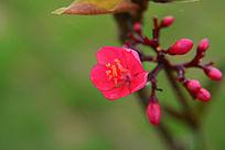 美丽的红色花卉