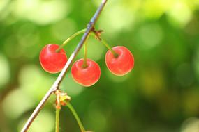 漂亮的樱桃