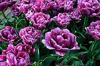 盛开的郁金香花