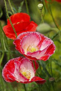 双开白芯罂粟花