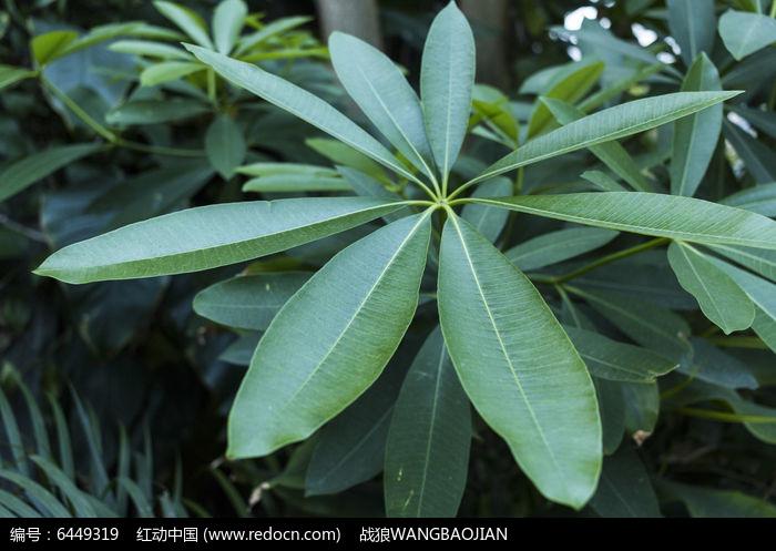 原创摄影图 动物植物 花卉花草 糖胶树枝叶  请您分享: 红动网提供