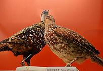 珍稀鸟类白冠长尾雉标本