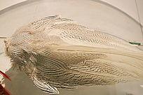 珍稀鸟类白鹇羽毛