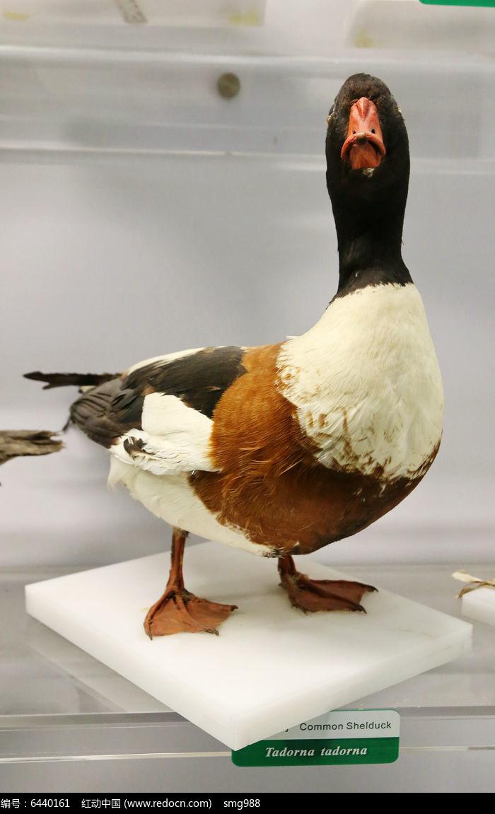 原创摄影图 动物植物 空中动物 珍稀鸟类野鸭标本