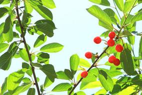 枝头的樱桃