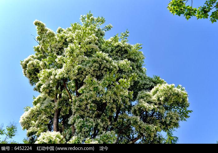 春天开花的流苏树图片