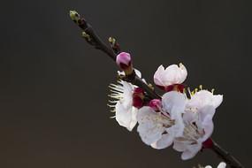 春意盎然的梅花