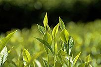 海南白沙茶场的绿茶特写图片