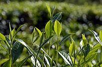 海南白沙茶场绿茶特写图片