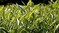 海南白沙绿茶图