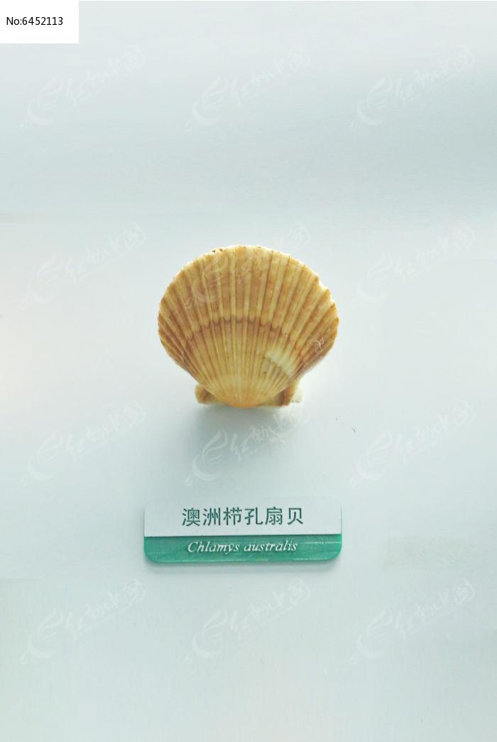 原创摄影图 动物植物 水中动物 海洋贝类澳洲栉孔扇贝标本  请您分享