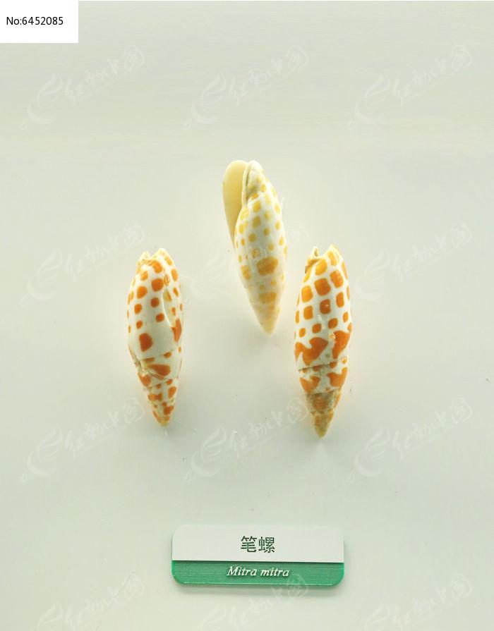 原创摄影图 动物植物 水中动物 海洋贝类笔螺标本  请您分享: 红动网