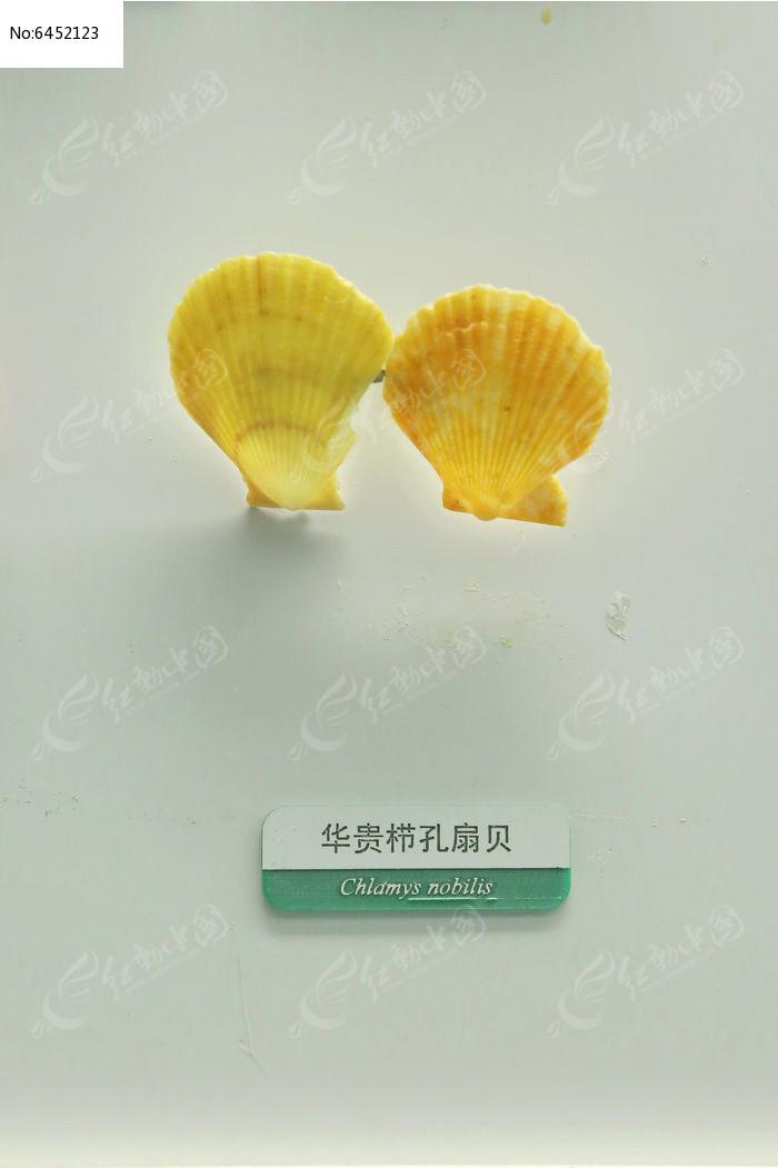 原创摄影图 动物植物 水中动物 海洋贝类华贵栉孔扇贝标本  请您分享