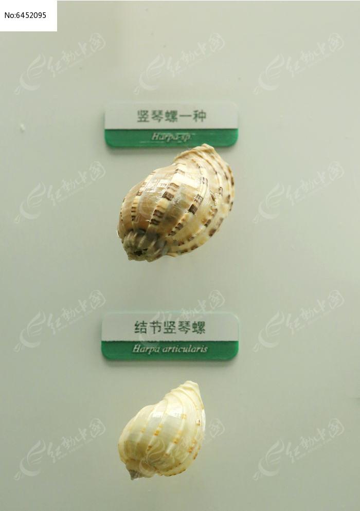 原创摄影图 动物植物 水中动物 海洋贝类结节竖琴螺标本  请您分享