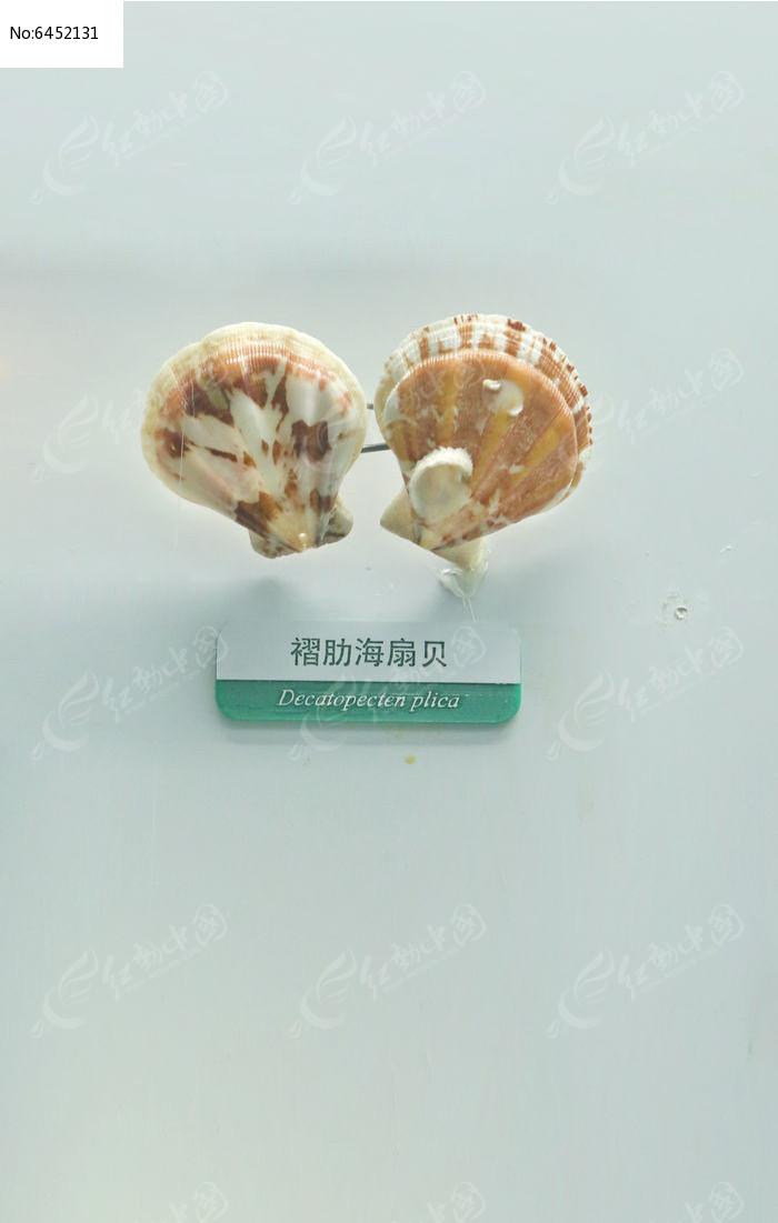 海洋贝类褶肋海扇贝标本图片,高清大图_水中动物素材