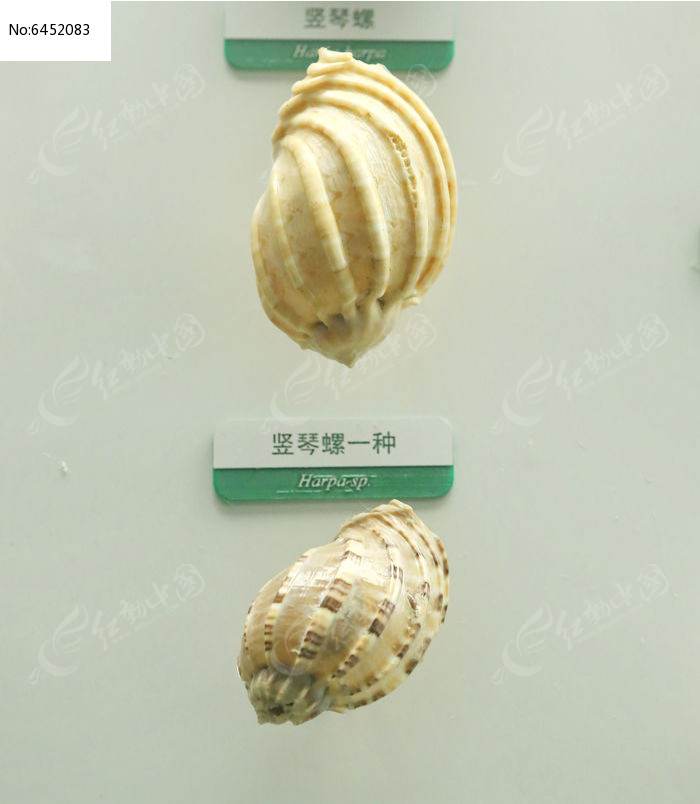 原创摄影图 动物植物 水中动物 海洋贝类竖琴螺标本  请您分享: 红动