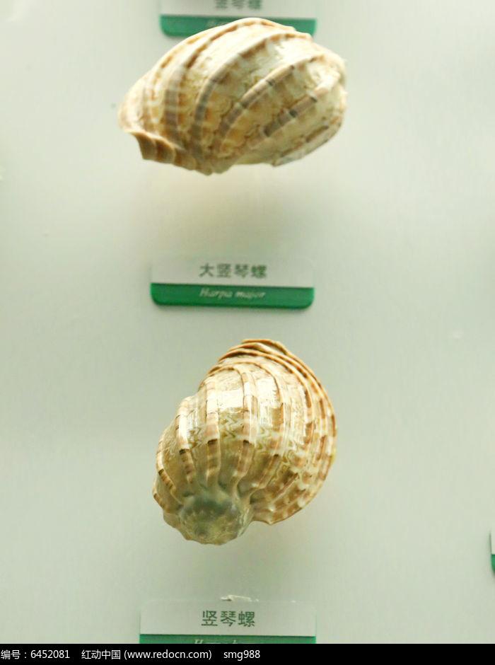 原创摄影图 动物植物 水中动物 海洋贝类竖琴螺的标本  请您分享: 红