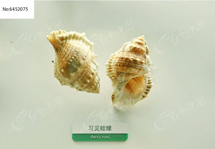 原创摄影图 动物植物 水中动物 海洋贝类习见蛙螺标本  请您分享: 红