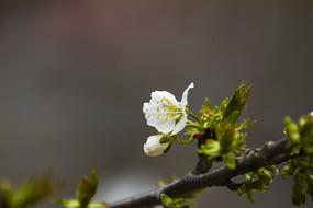 绿叶陪伴白梅花