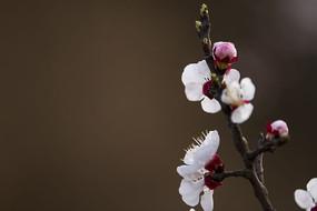 梅花与花苞
