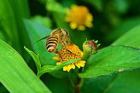 野菊上的蜜蜂