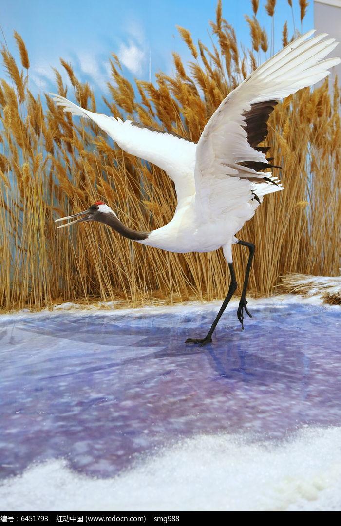 珍稀丹顶鹤标本图片,高清大图_空中动物素材