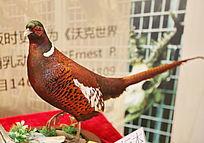 珍稀鸟类长尾雉鸡标本