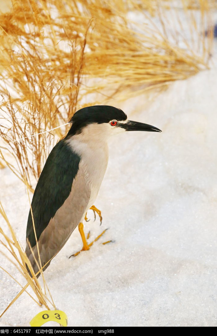 珍稀鸟类黑嘴鸟标本