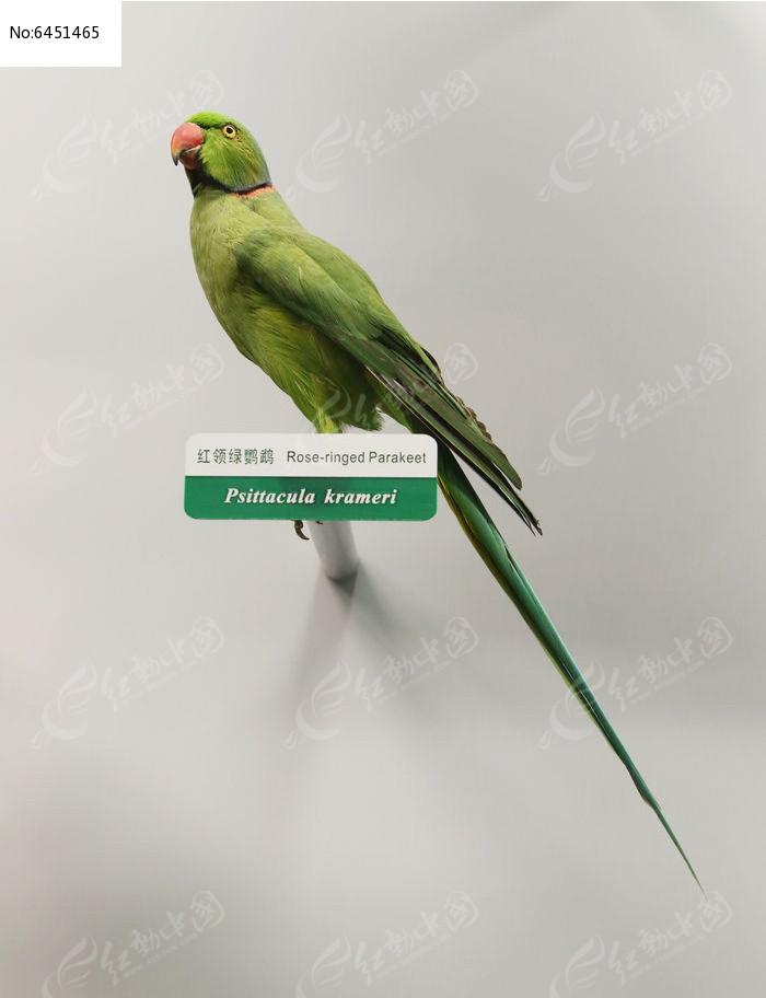 珍稀鸟类红领绿鹦鹉标本图片,高清大图_空中动物素材