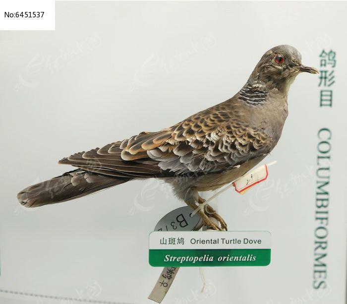 珍稀鸟类山斑鸠标本图片,高清大图_空中动物素材
