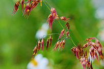 红色粒粒花