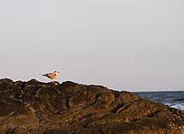 礁石上的海鸥