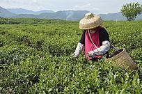 白沙绿茶茶场在 采茶的茶农