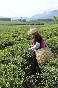 白沙绿茶茶场在 采茶的茶农图