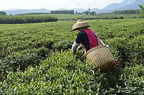 白沙绿茶茶场在 采茶的茶农图片