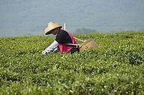 茶茶场在采茶的茶农图片