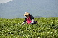 茶场在采茶的茶农图